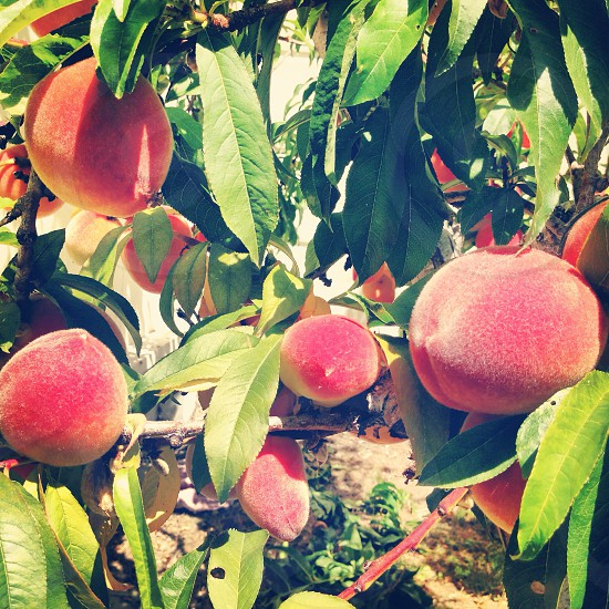 red peach fruit photography photo
