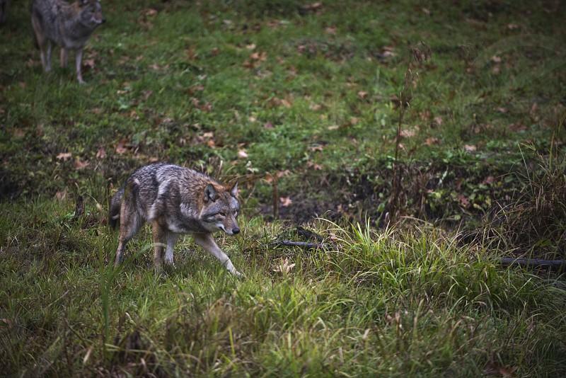 Wolf x Watch photo