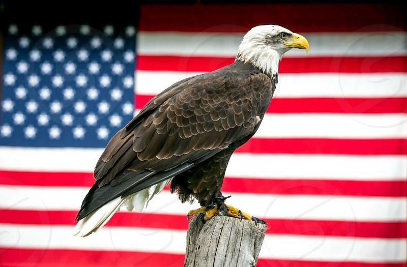 Bald Eagle national bird national animal Memorial Day flag American Flag photo