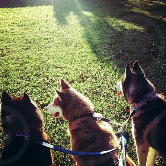 A lovely summers evening in Ireland with my 3 huskies  photo