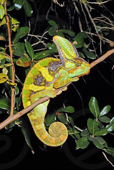 Male veiled chameleon (Chamaeleo calyptratus) - native to Yemen in the Mid-East but now also breeding in isolated locales in southern Florida. photo