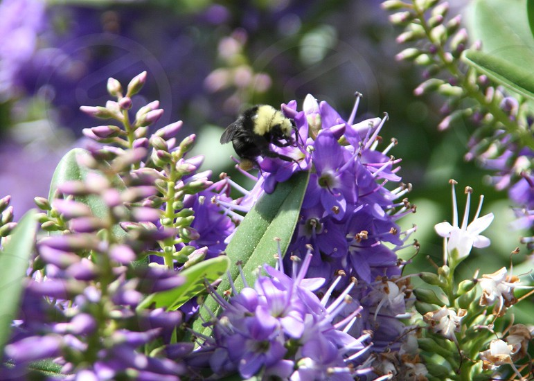 bee on violet flower and green leaf photo
