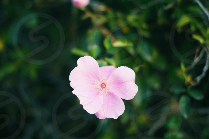 pink 5 petaled flower photo