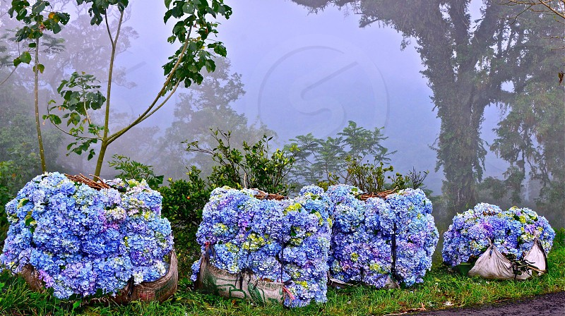 harvested Hortensia flowers in Bali awaiting pickup to market for sale in offerings foggy tropical photo