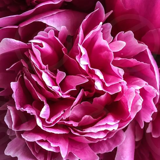 Close up of pink peony  photo