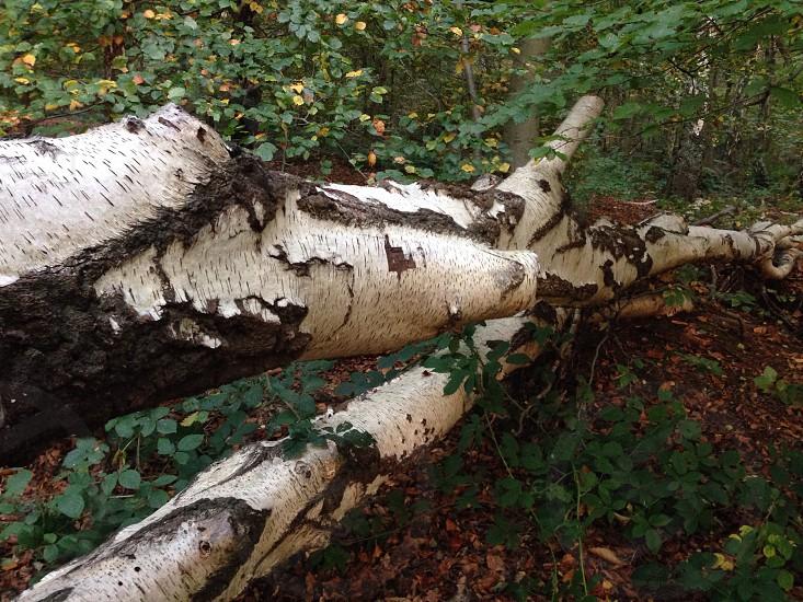 Bark fallen tree Marlow Woods photo