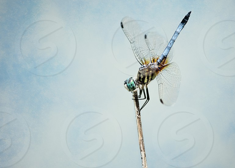 blue and brown dragonfly macro photography photo