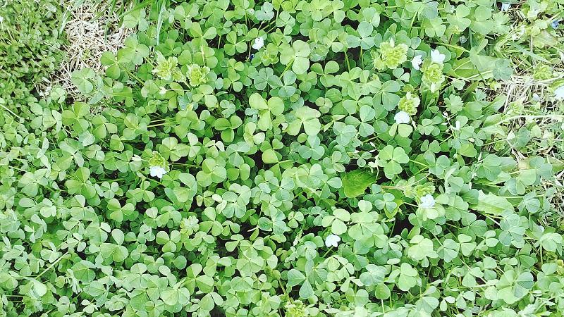 Grass & clover photo