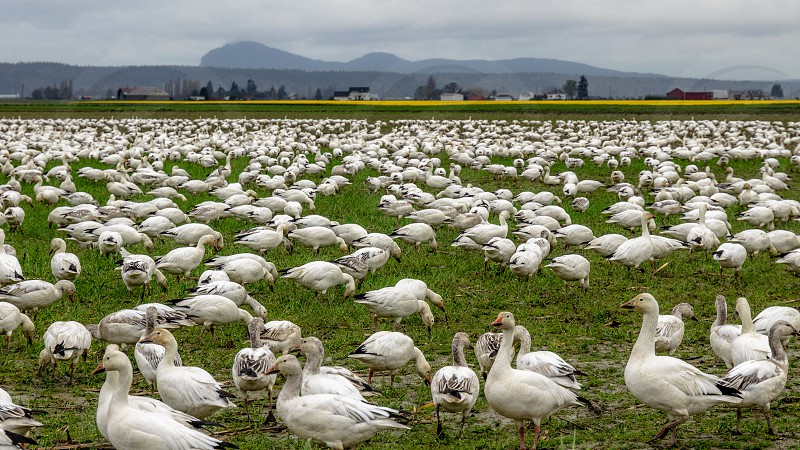photo of white gooses on the green grass field under dark clouds during daytime photo