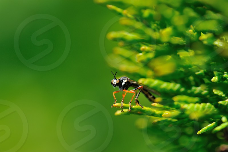Red legged fly photo
