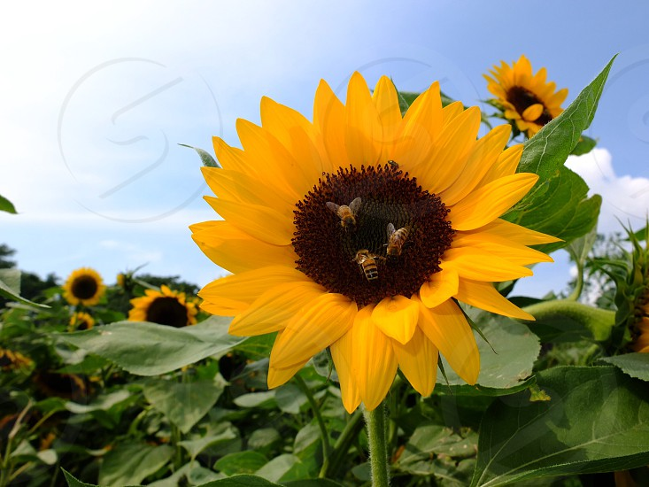 bees on sunflower photo