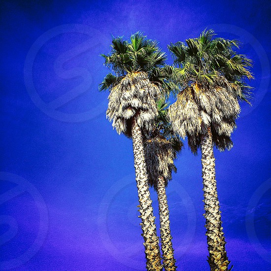 California palm trees sunshine escape vacation Bay Area blue sky tree leaves warm photo