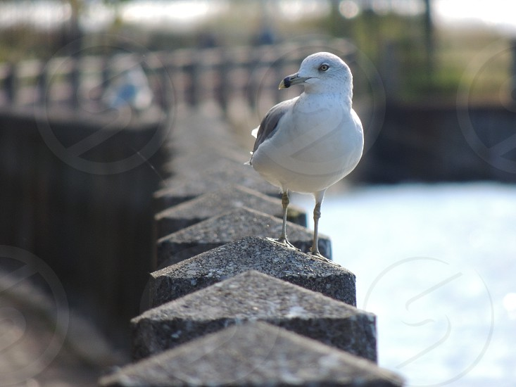 white gray seagull perched on gray stone fence photo