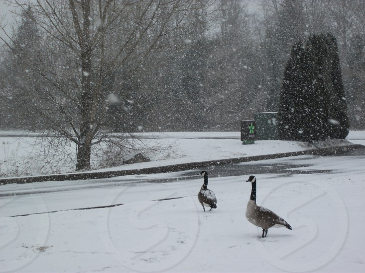 Ducks in the Snow photo