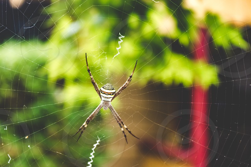 St. Andrew's Cross spider sitting in the centre of the web  photo