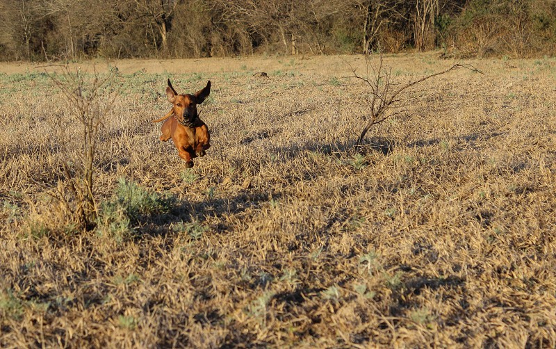 dachshund running and jumping photo