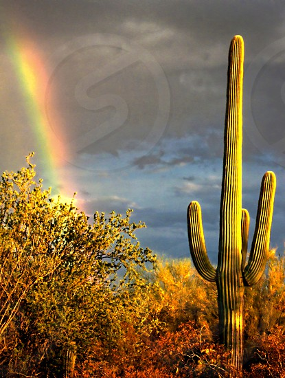 Rainbow after a storm in a desert. A saguaro cactus is in the foreground photo
