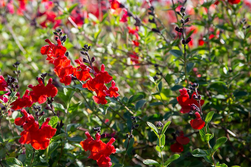 Beautiful red flower of Snapdragon Bunny rabbits or Antirrhinum Majus in the flower garden on sunny spring day photo