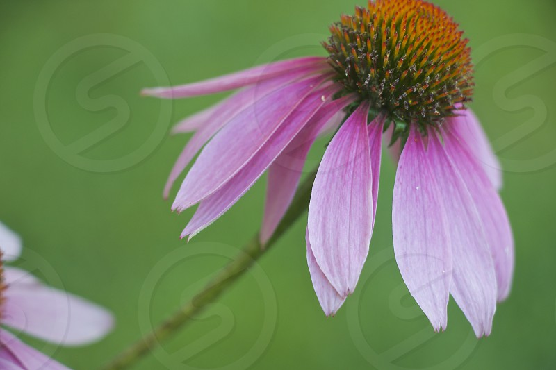 echinacea flowermedicinalherbshome remedieshealth wellness photo
