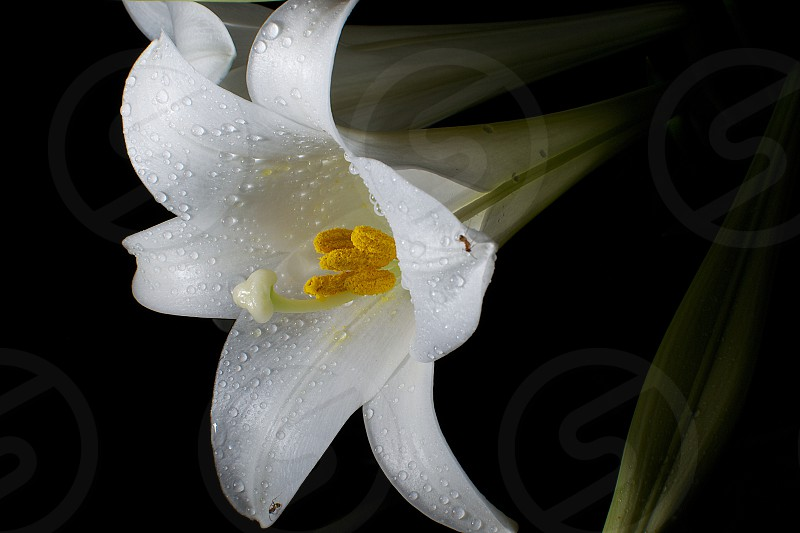 Capture of a couple of ants enjoying water droplets on an easter lily. photo