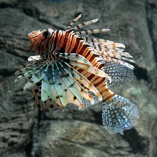 red white creamy and black bands lionfish photo