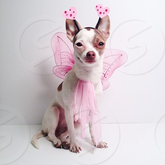 brown and white with pink costume small sized dog photo