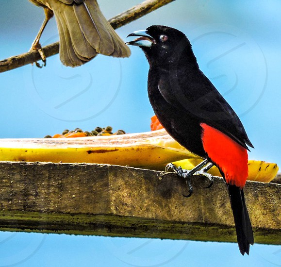 Costa Rica bird tanager photo