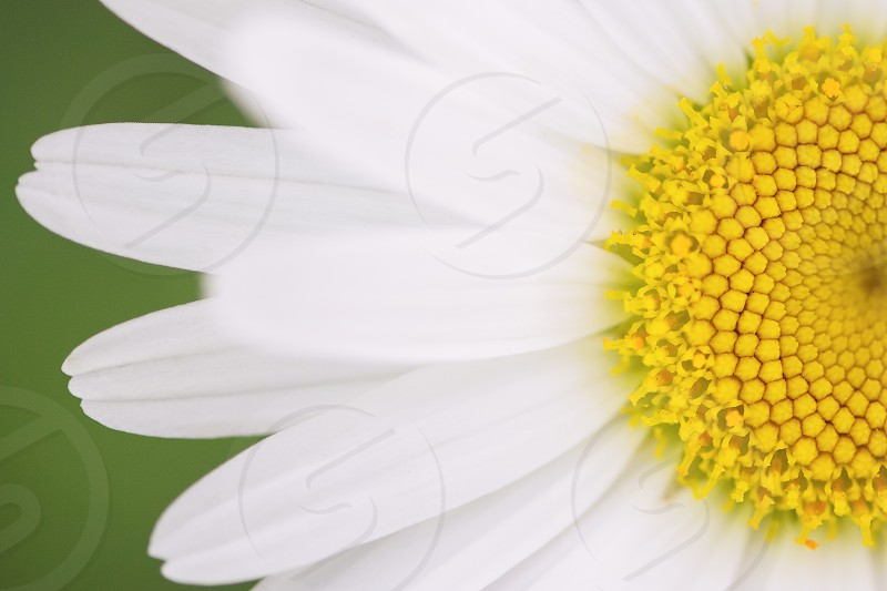 Close up of a half a white daisy. photo
