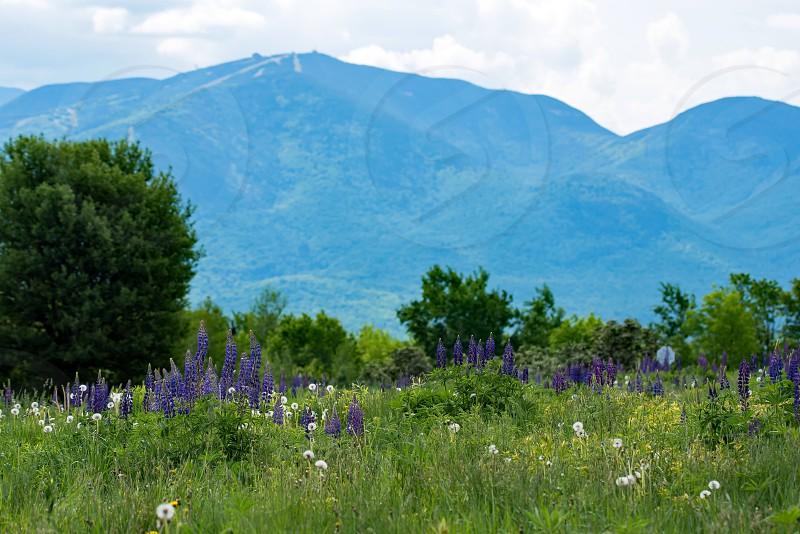 Mount Washington Lupine Fields photo