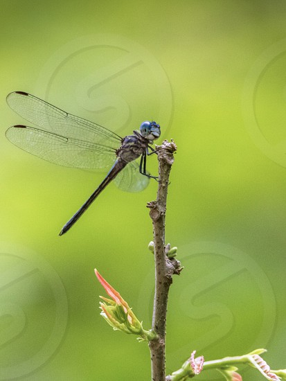 Macro closeup close-up insect flight wings dragonfly blue green twig stick nature biology photo