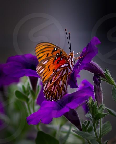 Gulf Fritillary Butterfly gathers pollen from purple petunias photo