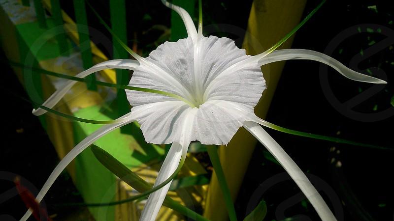 white beauty flower photo
