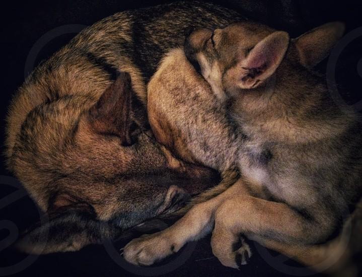 brown and black German shepherd photo