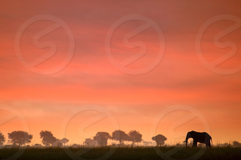 An elephant is shillouetted in the afternoon sunset photo