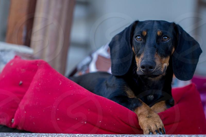 black dachshund resting  photo