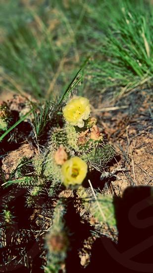 Cactus in bloom. photo
