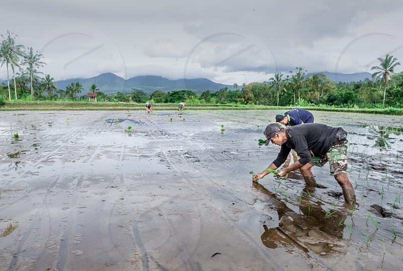 Planting paddies season photo