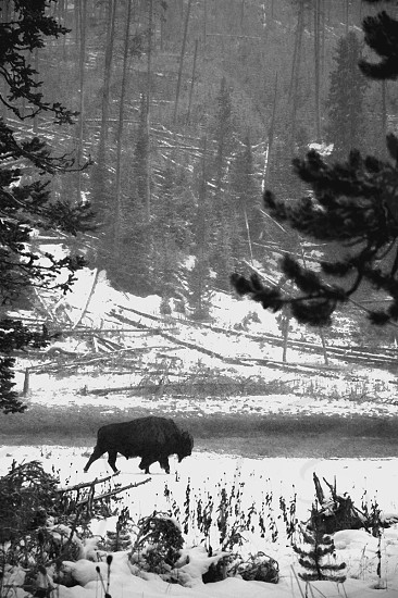 Bison walking on snow covered road photo