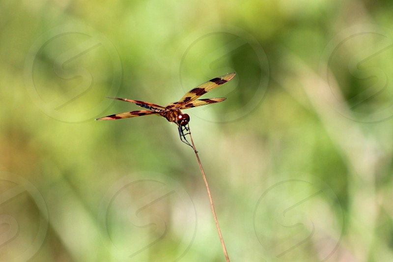 tiger dragonfly macro photography photo