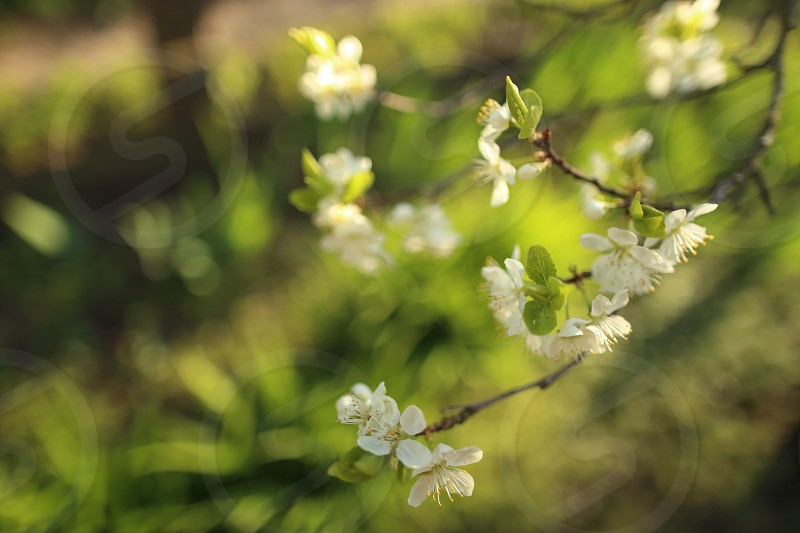 Blooming trees in spring photo