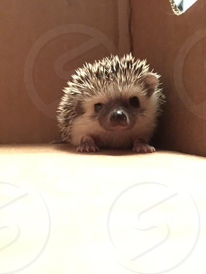 Hedgehog breeding  photo