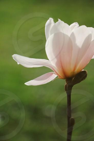 Flower petals spring.  photo