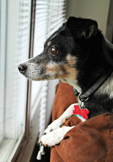 black brown and white dog laying on brown textile near white window pane photo