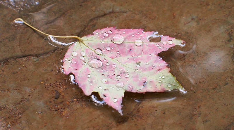 Pink leaf in stream. Autumn. Fall. Water droplets. photo