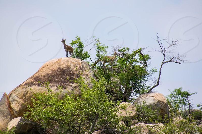 deer rock wild Safari South Africa trees photo