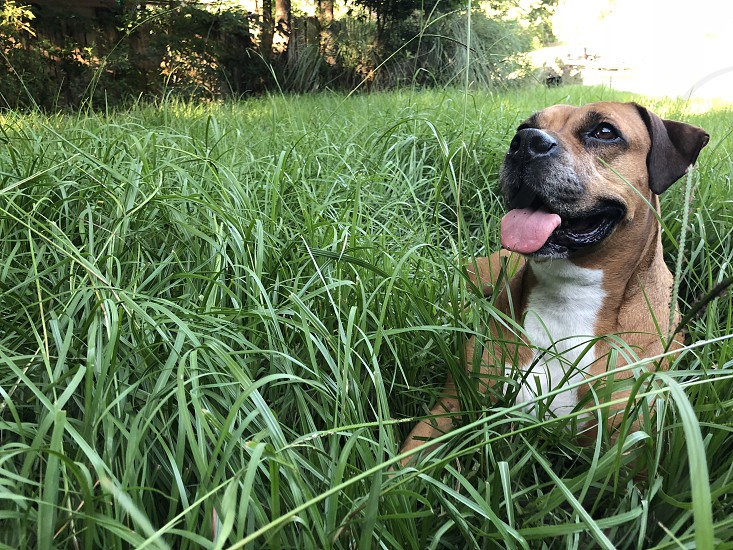 Dog grass field pet outdoors happy playful summer canine boxer old puppy loyal tongue fun photo