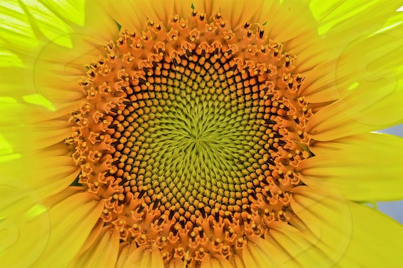 Sunflower vortex photo