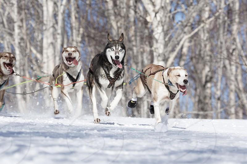 PETROPAVLOVSK-KAMCHATSKY KAMCHATKA PENINSULA RUSSIA - FEB 23 2017: Kamchatka Kids Competitions Sled Dog Race Dyulin (Beringia). Runs dog sled Alaskan husky young musher Krivogornitsyna Christina. photo