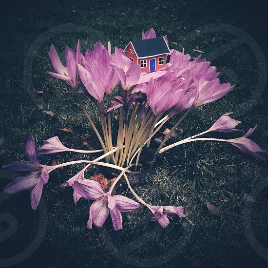 purple flowers and small toy house photo