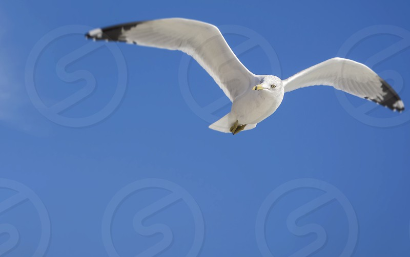 Single Seagull flying in blue clear sky photo
